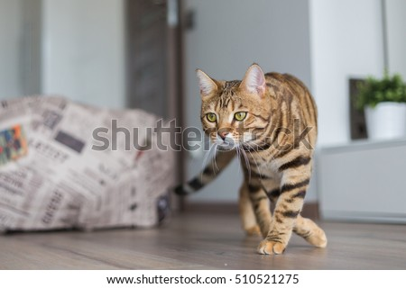 Beautiful Bengal cat hunting in a room catching mice.