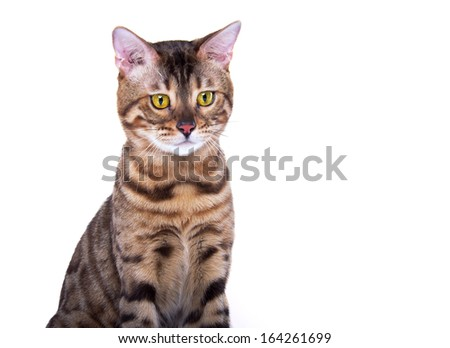 Beautiful Bengal cat on white background