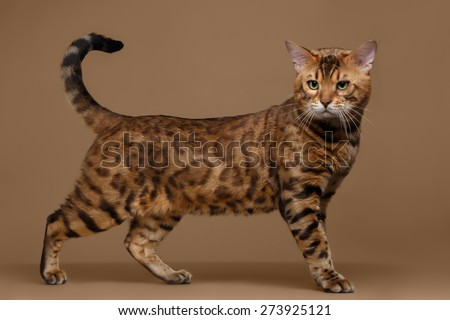 Beautiful Bengal Cat Stands on Brown background, side view - stock photo