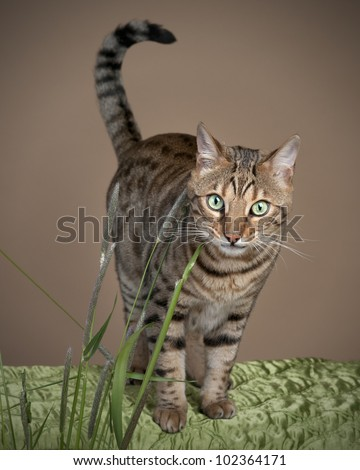 Beautiful Bengal leopard cat with unique markings - stock photo
