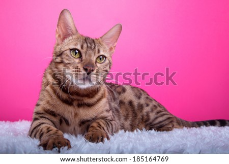 Beautiful bengalensis cat ifs isolated on a pink background. Colorful decorations. Collection of funny animals. Animal portrait - stock photo