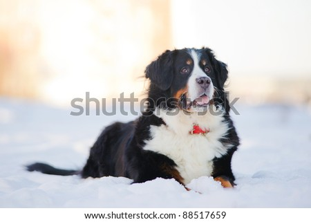 Beautiful bernese mountain dog (Berner Sennenhund) lies on snow in park - stock photo