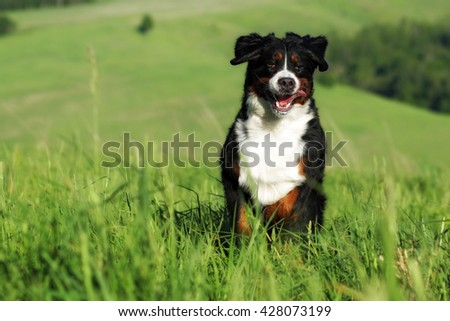 Beautiful Bernese mountain dog runs are fun in the summer outdoors on the field