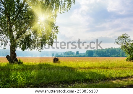 Beautiful big birch tree in a meadow with sunny beams. Beautiful summer landscape. Sunrise in forest
