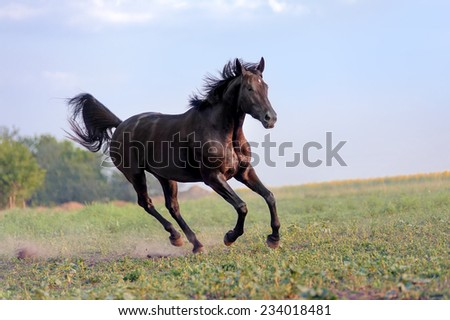 Beautiful big black horse galloping across the field on a background of clear sky and haze. Her mane is developing the wind