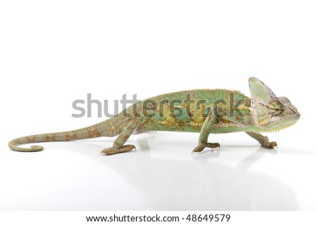 Beautiful big chameleon sitting on a background - stock photo
