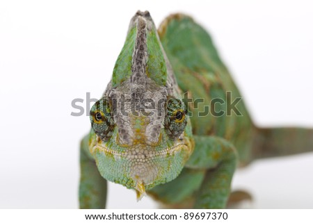 Beautiful big chameleon sitting on a white background - stock photo