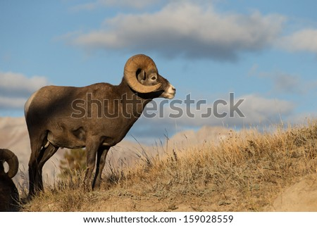 Beautiful Big Horn Sheep Rams in Jasper National Park, Alberta Canada. - stock photo
