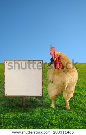 Beautiful big rooster beside the blank white board against the blue sky - soft focus - stock photo