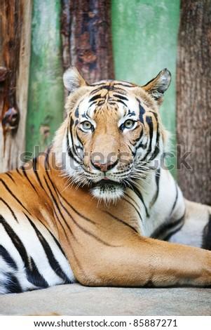 beautiful big tiger in a zoo - stock photo
