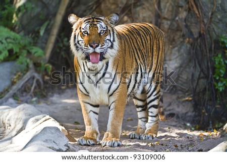 beautiful big tiger in a zoo - stock photo