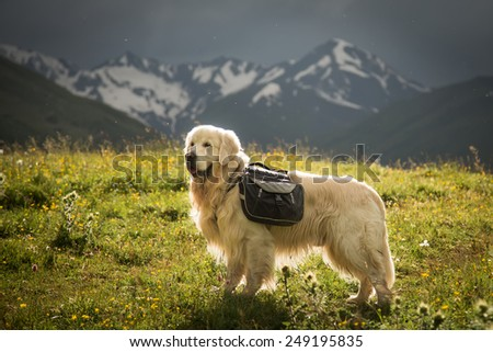 Beautiful big white dog Golden retriever in high mountain with snow peaks with backpack at tracking journey camping travel tourism in sunshine landscape ?????? ? ????? ? ???????? - stock photo