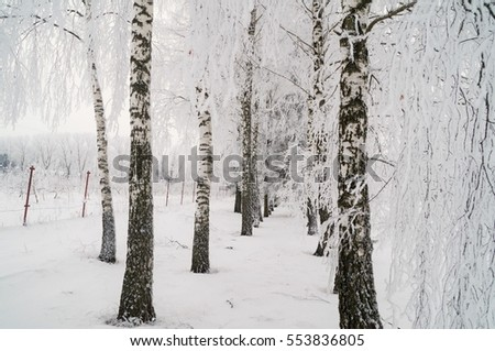 beautiful birch on a frosty winter day
