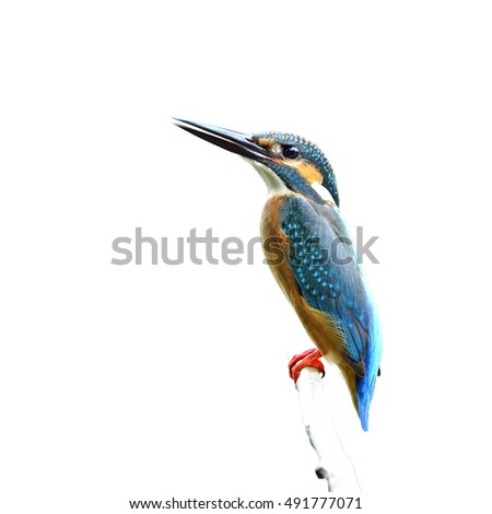 Beautiful bird a male Common Kingfisher perched on branch isolated on white background, Alcedo atthis