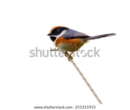 Beautiful bird, Black-throated Bushtit (Aegithalos concinnus), isolated on white background - stock photo