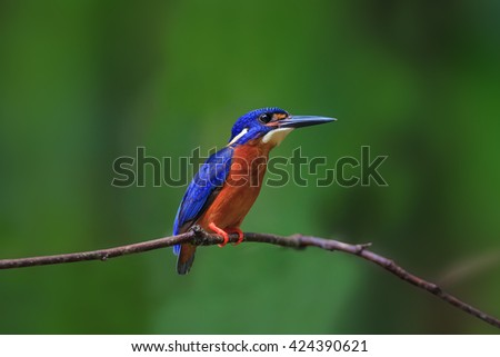 Beautiful Bird. Blue-eared Kingfisher in Thailand. With clipping path.
