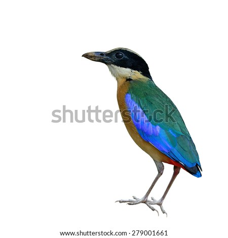 Beautiful bird, Blue winged Pitta isolated on white background.(Pitta moluccensis)