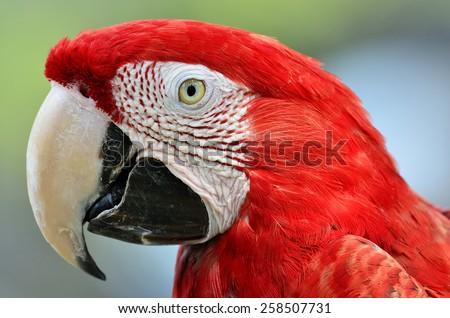Beautiful bird, Closeup Greenwinged Macaw. - stock photo