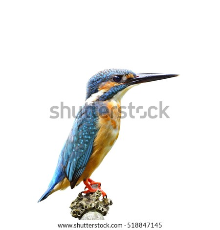 Beautiful bird Common kingfisher or Eurasian kingfisher perched on bamboo wood and lifting his tail isolated on white background(Alcedo atthis)