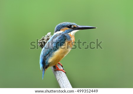 Beautiful bird Common kingfisher or Eurasian kingfisher perched on bamboo wood in the nature (Alcedo atthis)