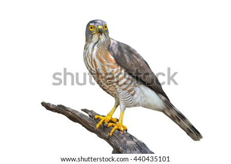 Beautiful bird, crested goshawk (Accipiter trivirgatus) perching on a branch on white background, take of Thailand - stock photo