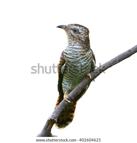 Beautiful bird, female of Plaintive Cuckoo (Cacomantis merulinus) perching on a branch on white background.