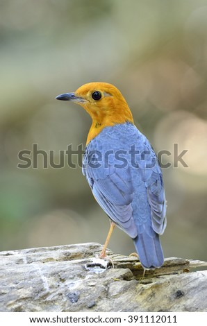 Beautiful bird female Orange-headed Thrush perched on the wooden(Zoothera citrina)