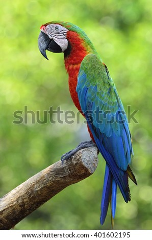 Beautiful bird Harlequin Macaw on green background.