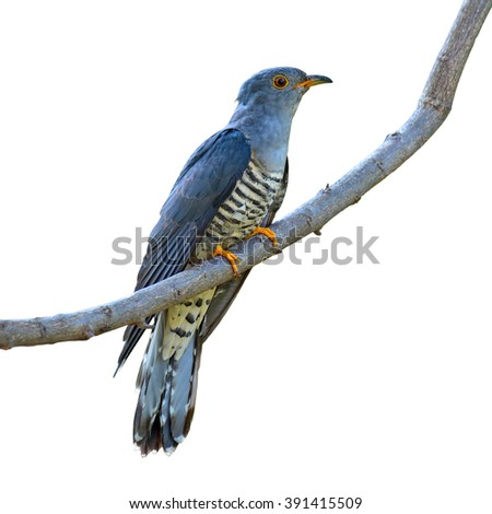 Beautiful bird, Himalayan Cuckoo (Cuculus saturatus) perching on a branch on white background, bird of Thailand - stock photo