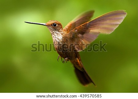 Beautiful bird in flight. Hummingbird Brown Inca, Coeligena wilsoni, flying next to beautiful pink flower, green background, Ecuador. Bird in the forest flying with open wing. Hummingbird with red. - stock photo