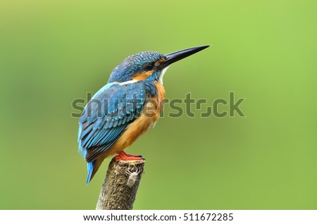 Beautiful bird male Common Kingfisher or Eurasian Kingfisher perched on wooden pole.(Alcedo atthis)