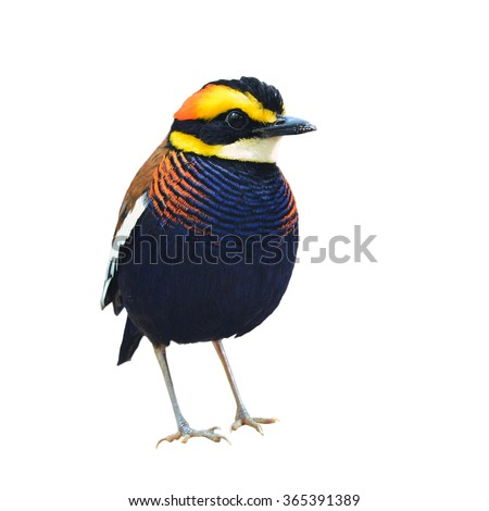Beautiful bird, male of Malayan Banded Pitta (Pitta guajana) isolated on white background - stock photo