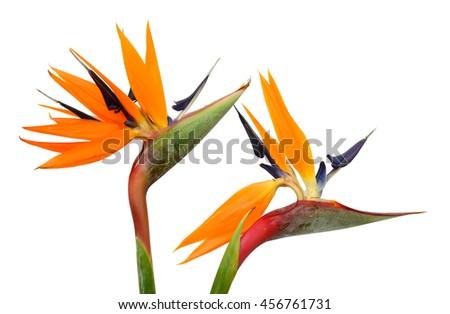beautiful Bird of Paradise flowers (Strelitzia reginae) isolated in white background - stock photo