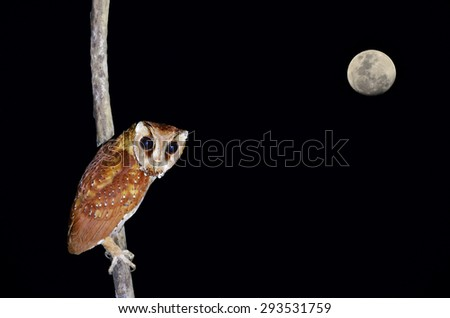 Beautiful bird, Oriental Bay with the moon owl on night time (Phodilus badius) - stock photo