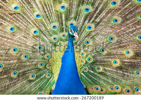Beautiful bird peacock with colored body - stock photo