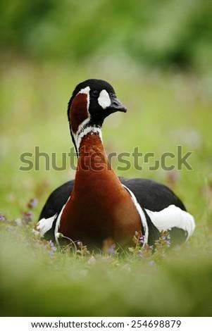Beautiful bird Red-breasted Goose, Branta ruficollis, sitting in violet flower - stock photo