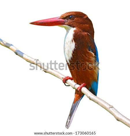 Beautiful bird, white-throated kingfisher (Halcyon smyrnensis) perching on a branch, white background