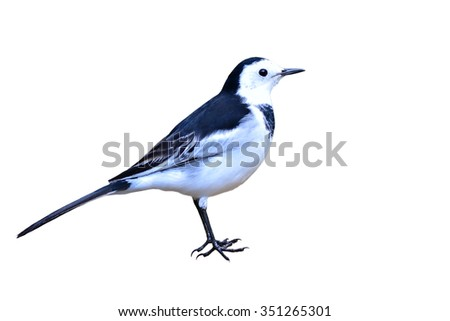 Beautiful black and white bird, male of White Wagtail (Motacilla alba) on white backgrond