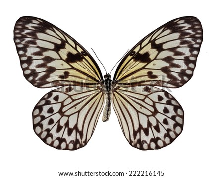 Beautiful black and white butterfly (Siam Tree Nymph, Idea leuconoe siamensis) isolated on white background - stock photo