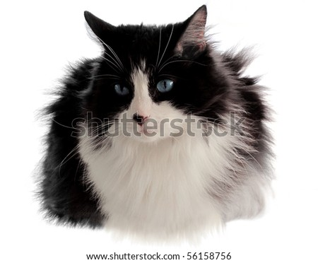 Beautiful black and white cat poses perfectly for the camera - stock photo