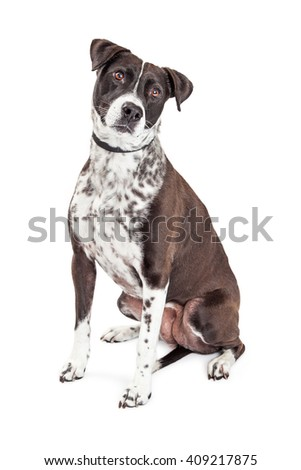 Beautiful black and white color mixed breed medium size dog sitting on white background tilting head - stock photo