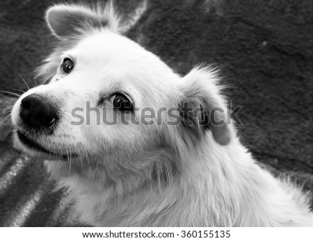 Beautiful black and white image of a cute white stray dog gently looking at the camera - stock photo