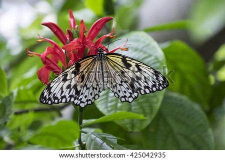 Beautiful black and white Rice Paper Butterfly, or Idea Leuconoe, on pink flower