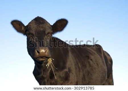 Beautiful black Angus cow posing - stock photo