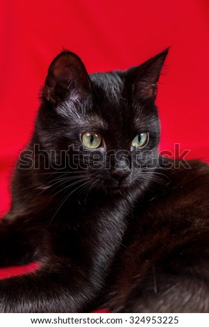 Beautiful black cat in studio on yellow and red colored background in various poses. Fluffy black cat. Portrait of a black cat. Selective focus of attention