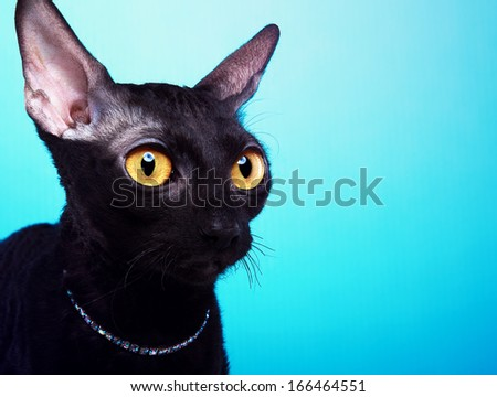 Beautiful black cat on a blue background