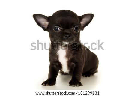 Beautiful black chihuahua puppy - stock photo