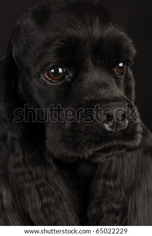 beautiful black cocker spaniel head portrait on black background - stock photo