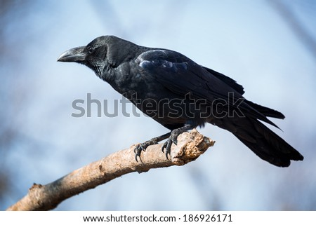 Beautiful black crow sitting on the branch - stock photo