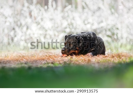 Beautiful black dog breed Rottweiler lying on the ground and looking to the side against the beautiful background with white flowers - stock photo